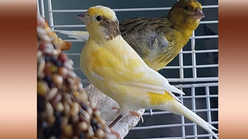 Jenis-jenis burung kenari - Tipe spanish timbrado