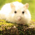 Cara Merawat Hamster dengan Baik - Close Up Hamster Putih