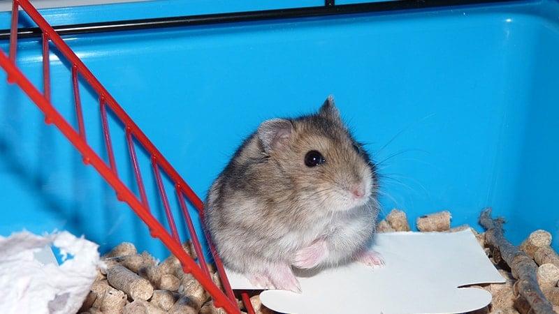 Cara Merawat Hamster dengan Baik - Hamster dalam Kandang