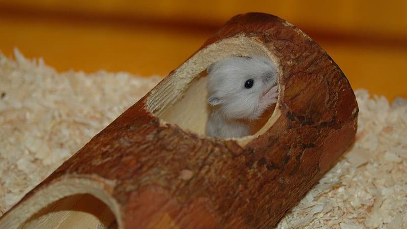 Cara Merawat Hamster dengan Baik - Hamster Sembunyi dalam Kayu