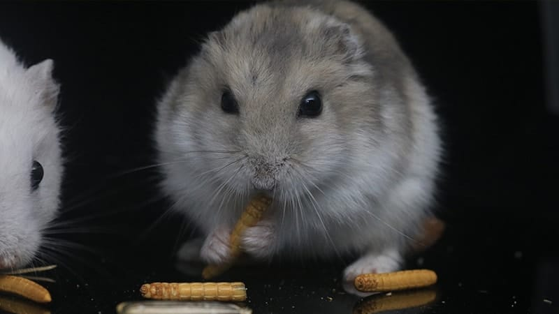 Cara Merawat Hamster dengan Baik - Hamster Makan Biji Gandum