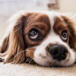 jenis anjing lucu dan menggemaskan - anjing lucu