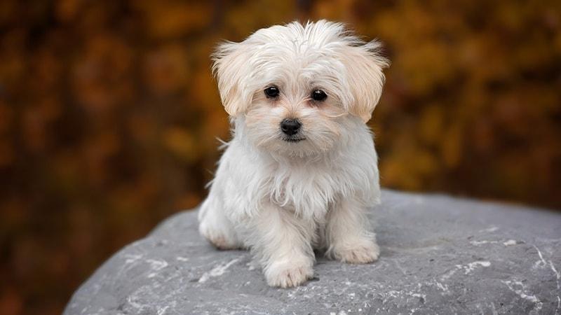 jenis anjing lucu dan menggemaskan - maltese
