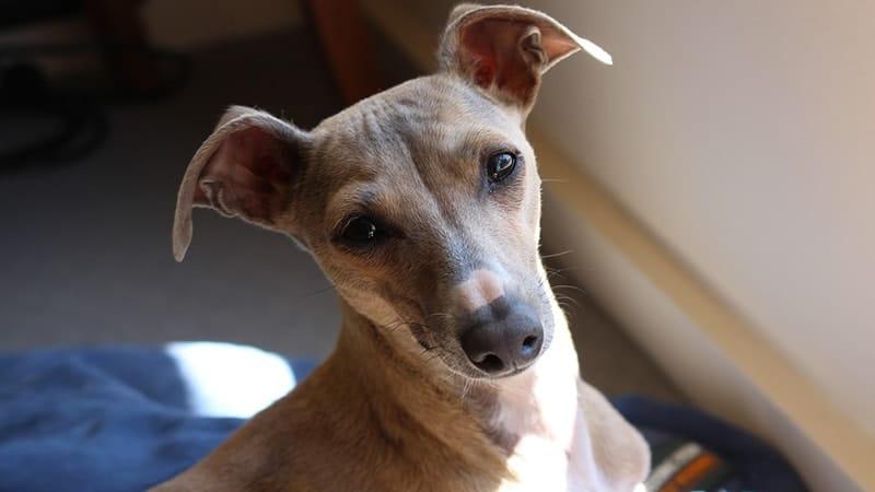 jenis anjing lucu dan menggemaskan - italian greyhound