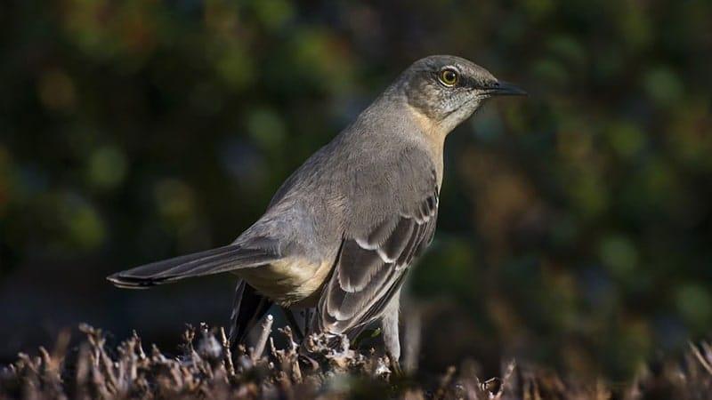 Jenis-jenis burung kicau - Northern mockingbrid