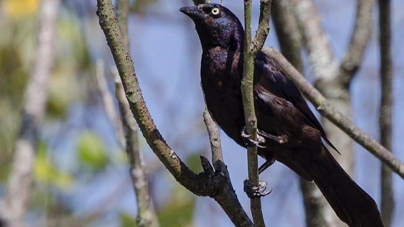 Jenis-jenis burung kicau - Blackbird