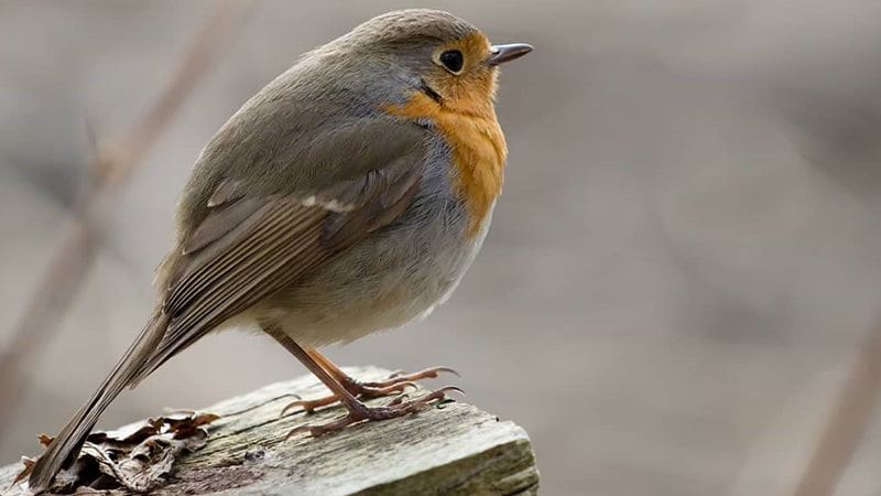 Jenis-jenis burung kicau - European robin