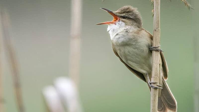 Jenis-jenis burung kicau - Great reed warbler