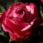 Bunga Mawar - Mawar