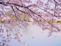 Bunga sakura - Pemandangan indah sakura