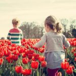 Bunga Tulip - Taman Bunga Tulip