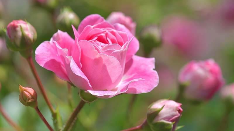 Bunga Mawar - Sejarah Bunga Mawar