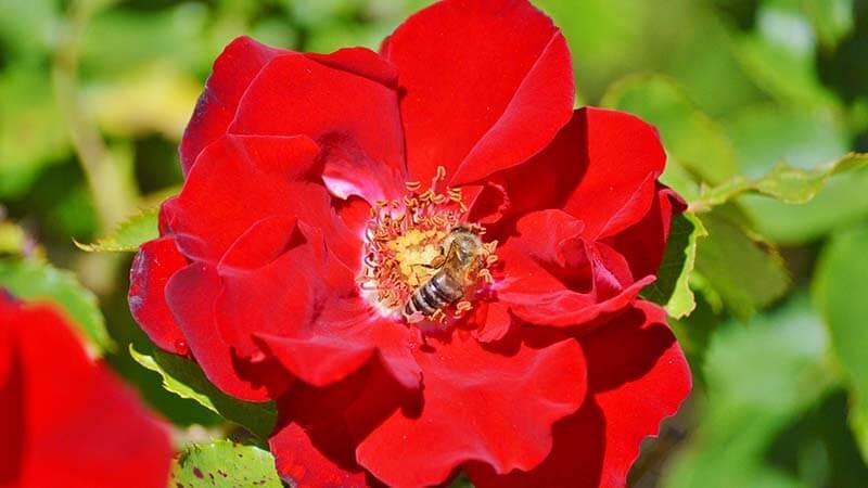 Bunga Mawar - Penyerbukan