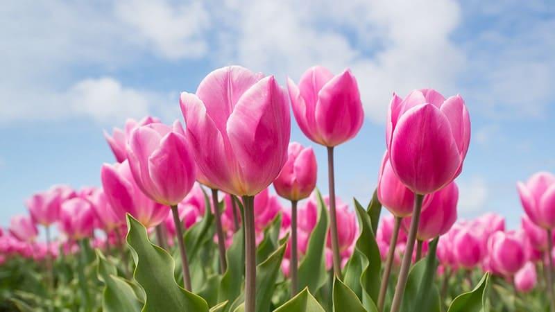 Bunga Tulip - Christmas Dream