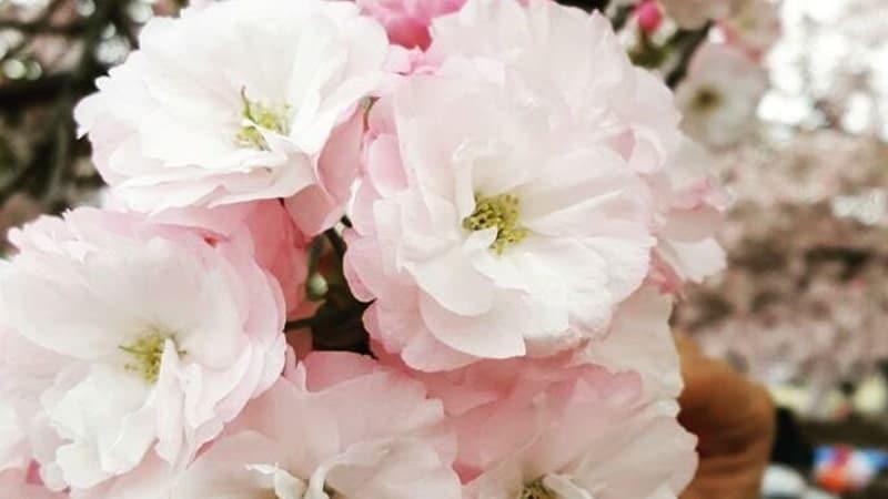 Bunga sakura - Ichiyo
