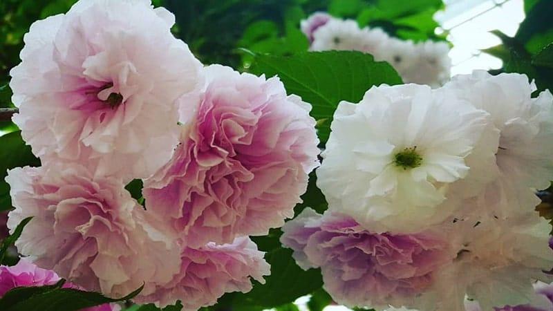 Bunga sakura - Fugenzo