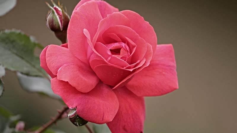 Bunga Mawar - Pink Roses