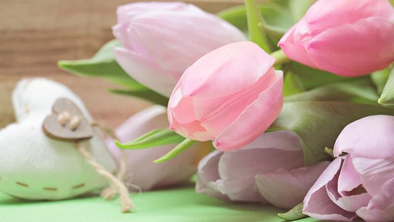 Bunga Tulip - Pink Impression