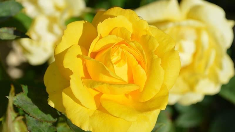Bunga Mawar - Yellow Roses