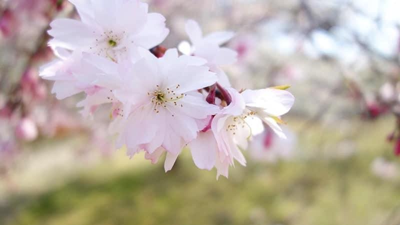 Bunga sakura - Jugatsuzakura