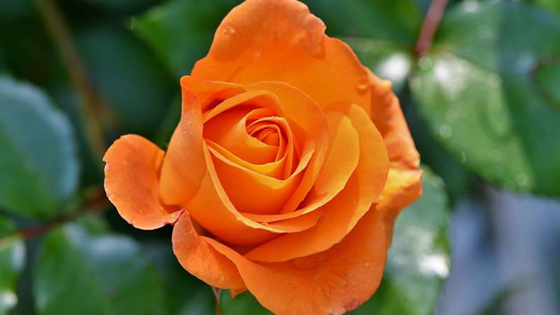 Bunga Mawar - Orange Roses