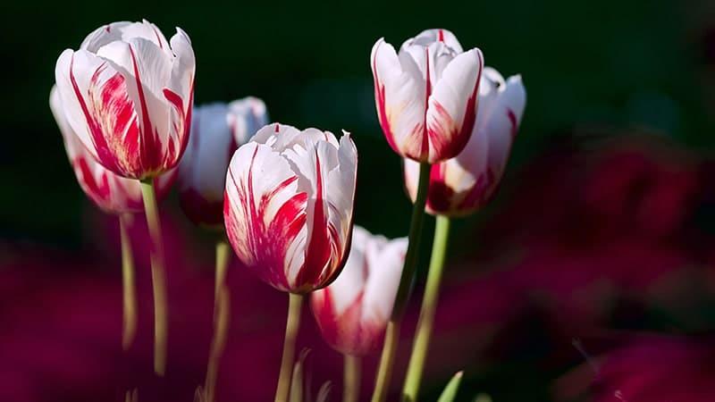 Bunga Tulip - Bizzare