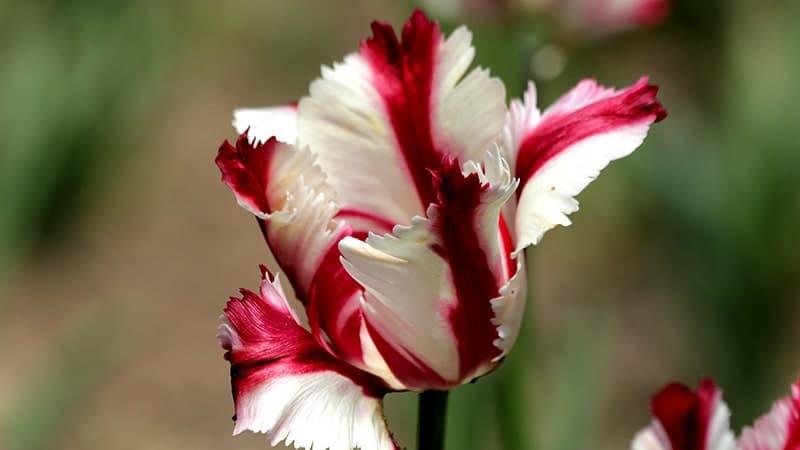 Bunga Tulip - Estella Rjinveld