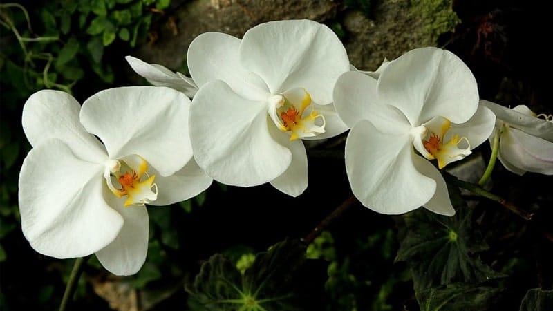 Cara Merawat Bunga Anggrek - Setangkai Anggrek Bulan Putih
