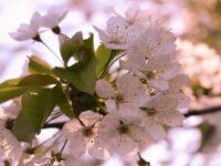 Nama Bunga Terindah di Dunia - Sakura Putih