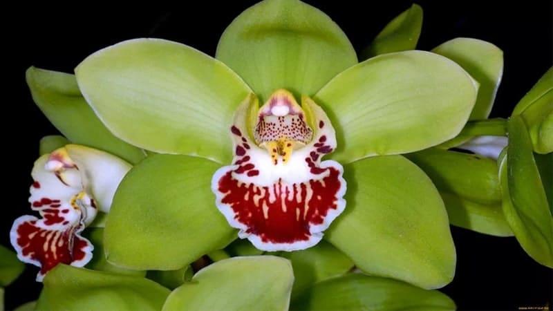 Nama Bunga Terindah di Dunia - Shenzen Nongke Orchid