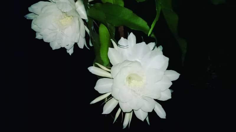 Nama Bunga Terindah di Dunia - Kadupul