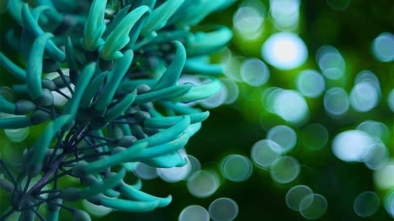 Nama Bunga Terindah di Dunia - Jade Vine