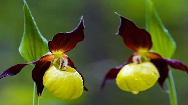 Nama Bunga Terindah di Dunia - Yellow and Purple Lady Slippers