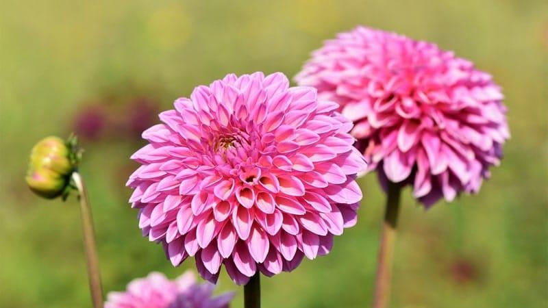 Nama Bunga Terindah di Dunia - Dahlia