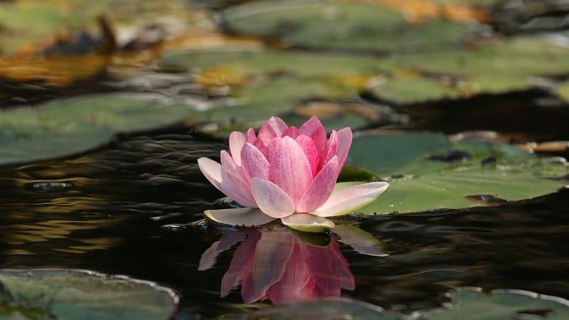 Nama Bunga Terindah di Dunia - Lotus