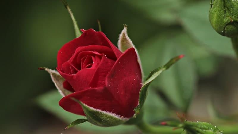 Cara Merawat Bunga Mawar - Kuncup Mawar