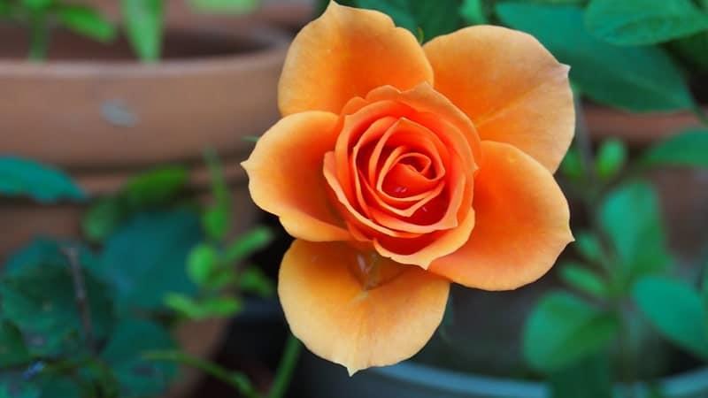 Cara Merawat Bunga Mawar - Mawar dalam Pot
