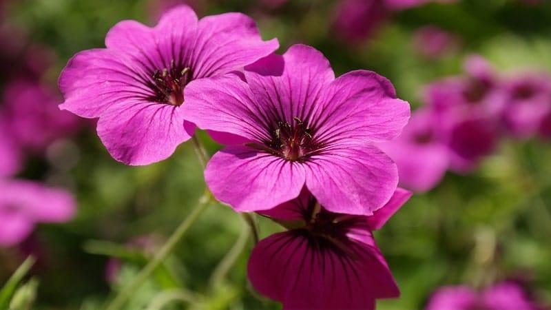 Tanaman untuk Taman Rumah Minimalis - Bunga Geranium