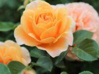 Cara Menanam Bunga Mawar - Bunga Mawar