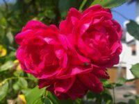 Jenis-Jenis Bunga Mawar - Mawar