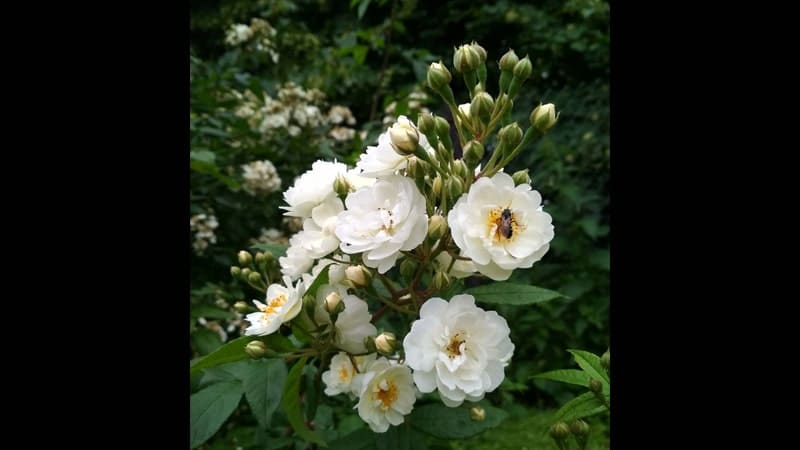 Jenis-Jenis Bunga Mawar - Mawar Musk