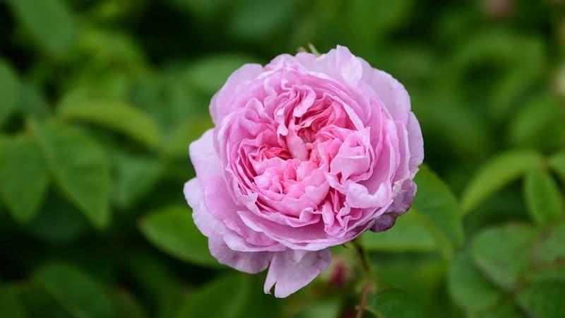 Jenis-Jenis Bunga Mawar - Mawar Kubis