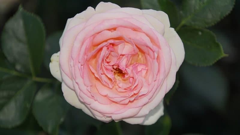 Jenis-Jenis Bunga Mawar - Mawar Eden