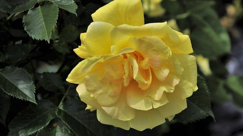 Jenis-Jenis Bunga Mawar - Mawar Sunsprite