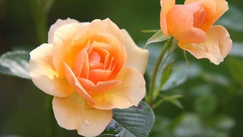 Jenis-Jenis Bunga Mawar - Mawar Talitha