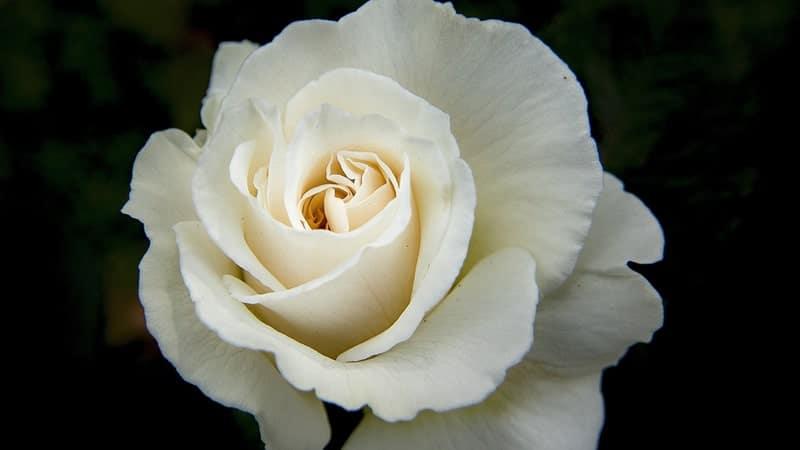 Jenis-Jenis Bunga Mawar - Mawar Mega Putih
