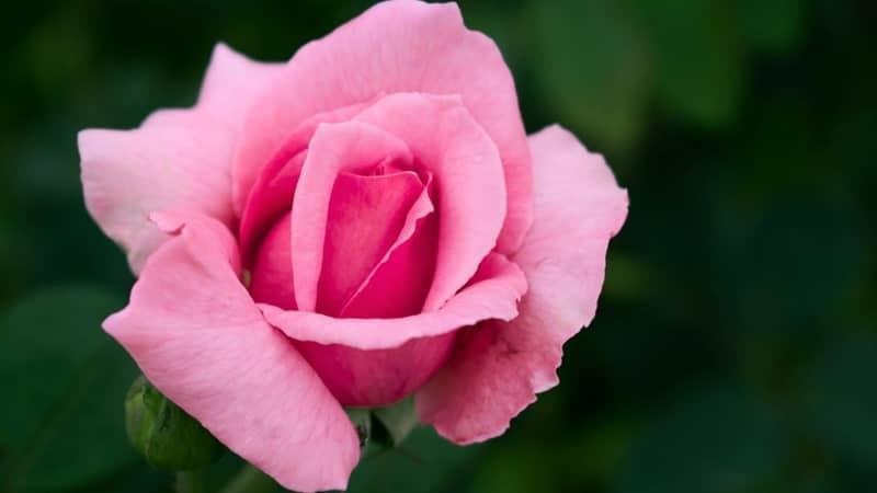 Jenis-Jenis Bunga Mawar - Mawar Pertiwi