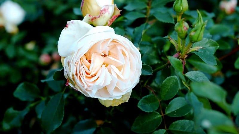 Jenis-Jenis Bunga Mawar - Mawar Juliet