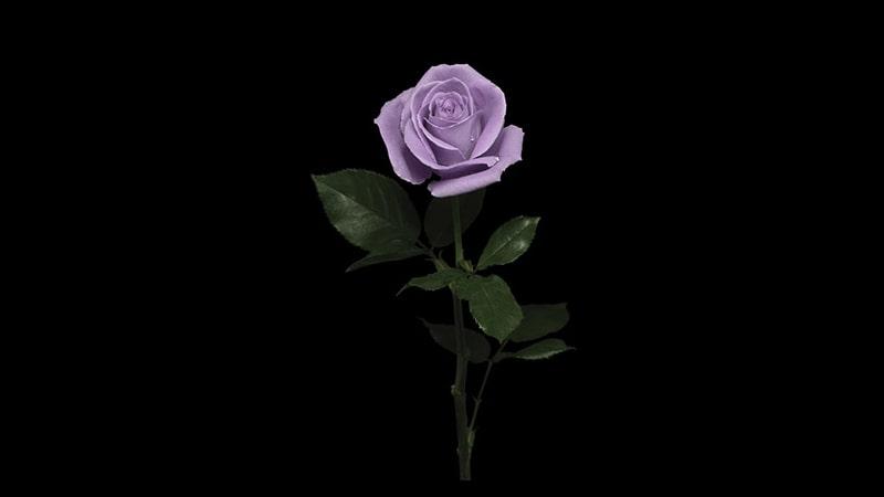 Jenis-Jenis Bunga Mawar - Mawar Biru