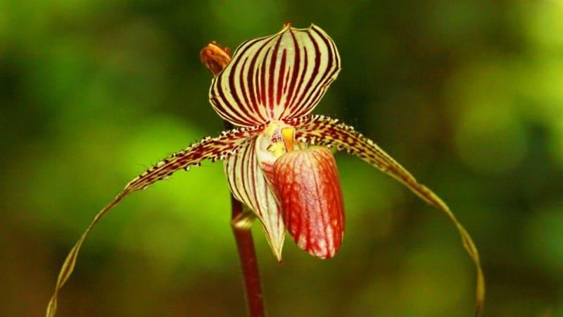 Bunga Langka di Dunia - Rothschild Orchid